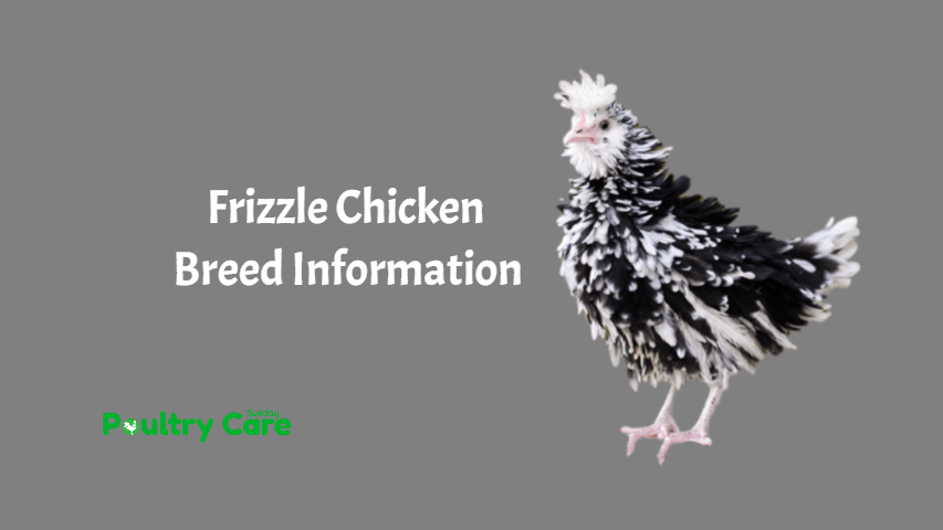 Frizzle Chicken Breed