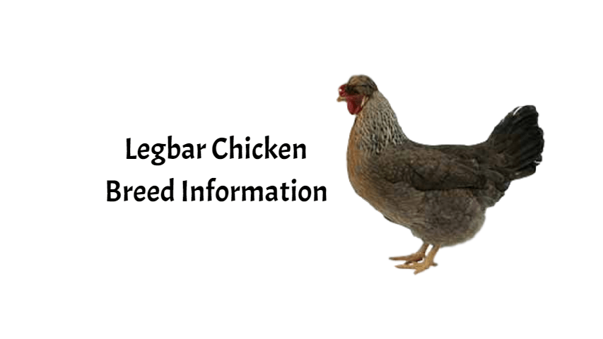 Cream Legbar Chicken Breed