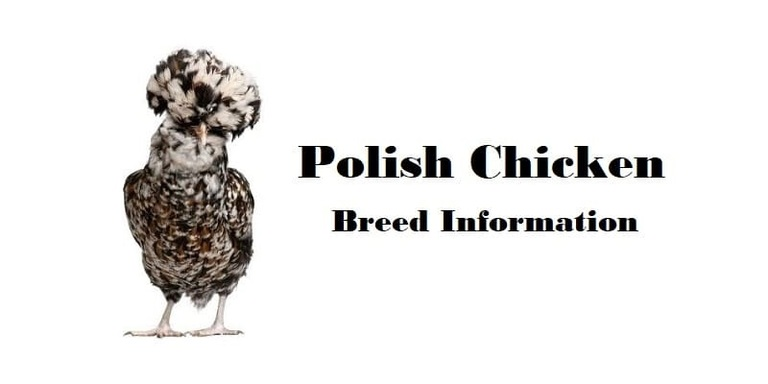 Polish Chicken Breed