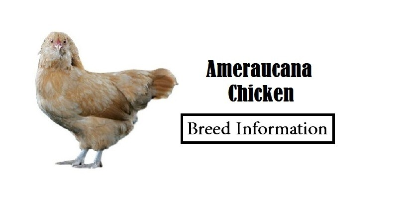 Ameraucana-Chicken Breed