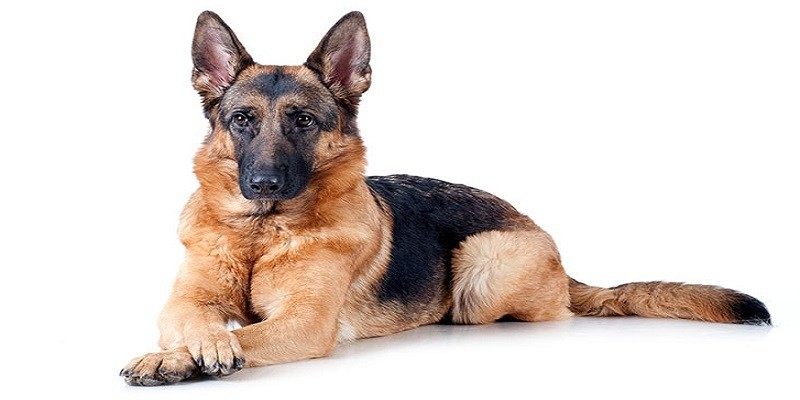 German Shepherd Breed