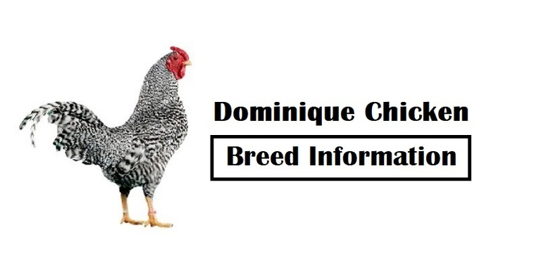 Dominique Chicken Breed