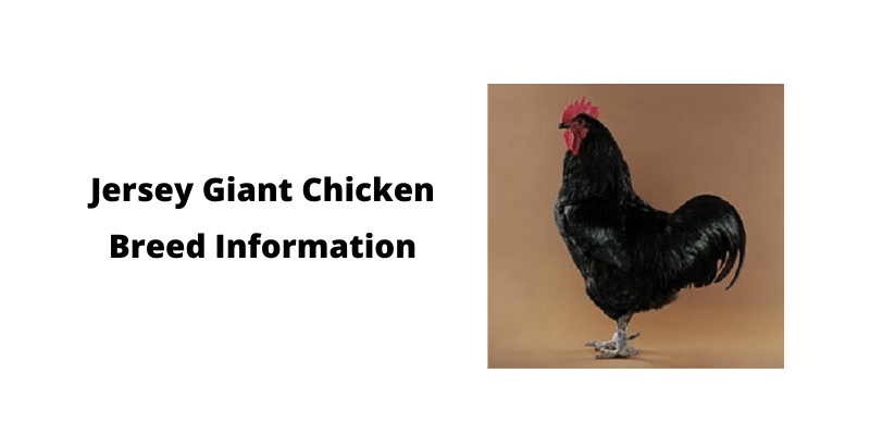 Jersey Giant Chicken