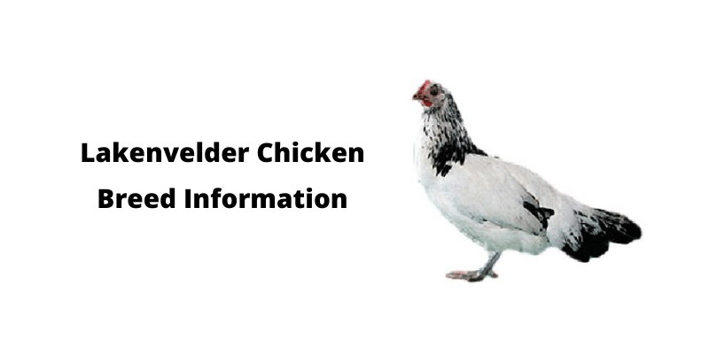 Lakenvelder Chicken